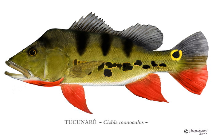 Peacock Bass - Cichla monoculus