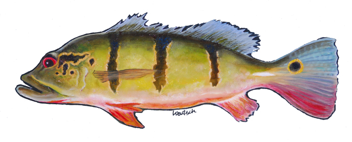 Peacock Bass Painting by Lois Deutsch