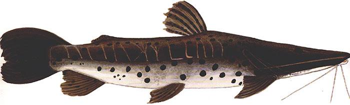 Anglers Giant Amazon Catfish Guide: Barred Sorubim - Acute Angling