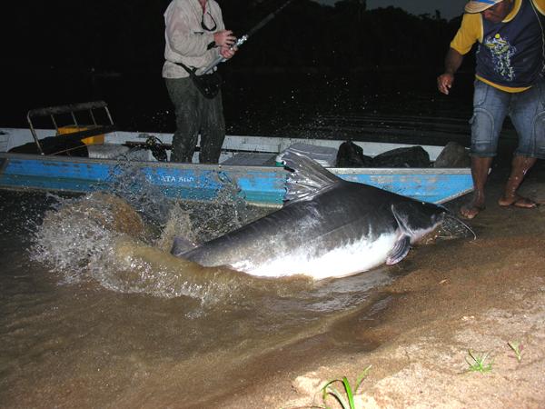 Largest Amazon Catfish Largest Verified Catfish