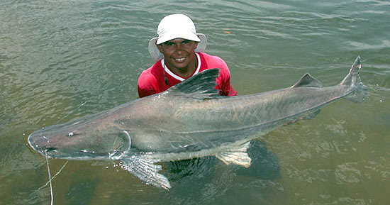 Piraiba - Giant Amazon Catfish