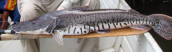Barred Sorubim - Giant Amazon Catfish