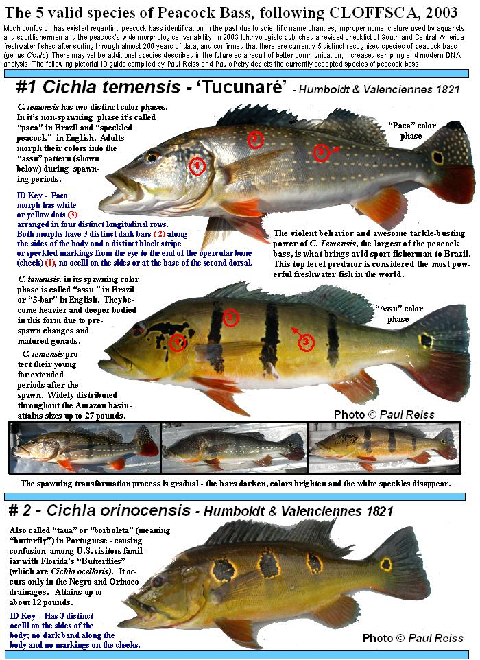 The 5 Originally Described Species Of Peacock Bass Acute Angling