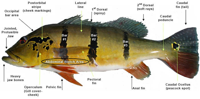 Anatomical features of the Amazon Peacock Bass Genus Cichla