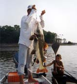 red tail catfish