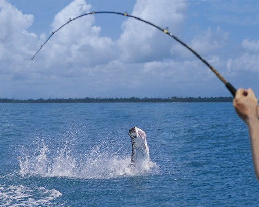 Tarpon on the line