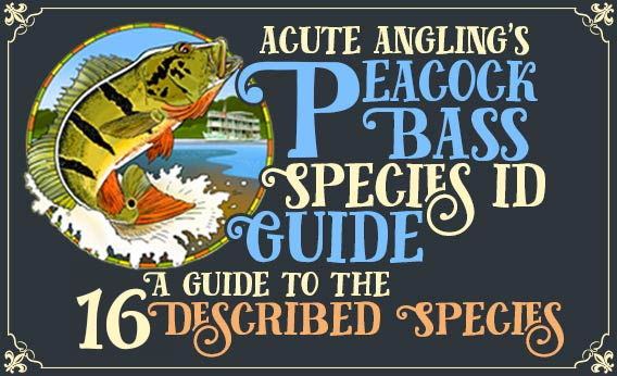 Acute Angling's Peacock Bass Species ID Guide: Our Guide to the 16 Described Species
