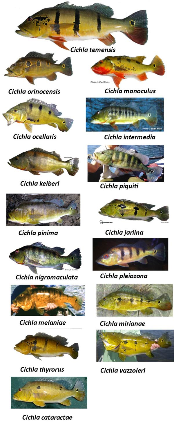chart of identified peacock bass species found in the Amazon
