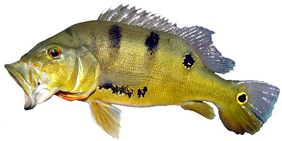 Amazon Peacock Bass species Cichla ocellaris