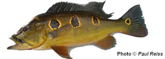 Amazon Peacock Bass species Cichla orinocensis