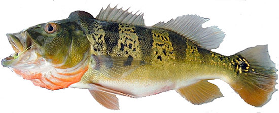 Amazon Peacock Bass species Cichla pleiozona