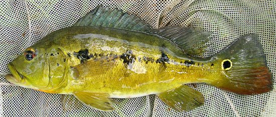 Amazon Peacock Bass species Cichla mirianiae