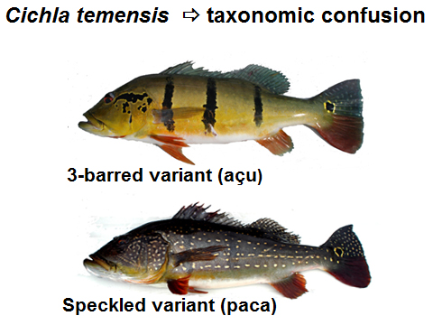 peacock bass confusion due to color changes