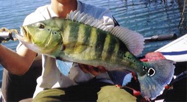 Amazon Peacock Bass species Cichla piquiti